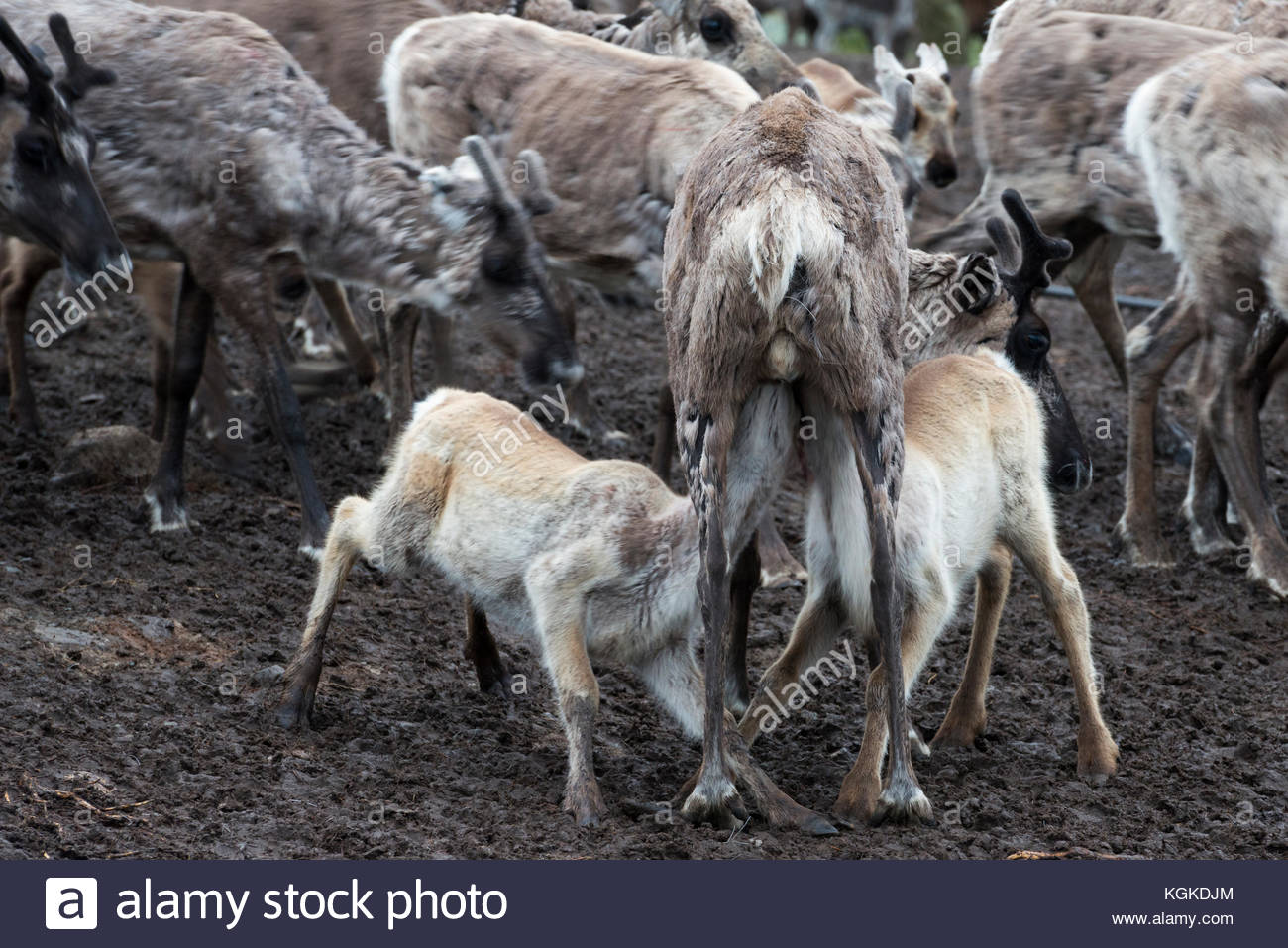 Semi-domesticated reindeer, Rangifer tarandus, running inside an enclosure during calf-marking. - Stock Image