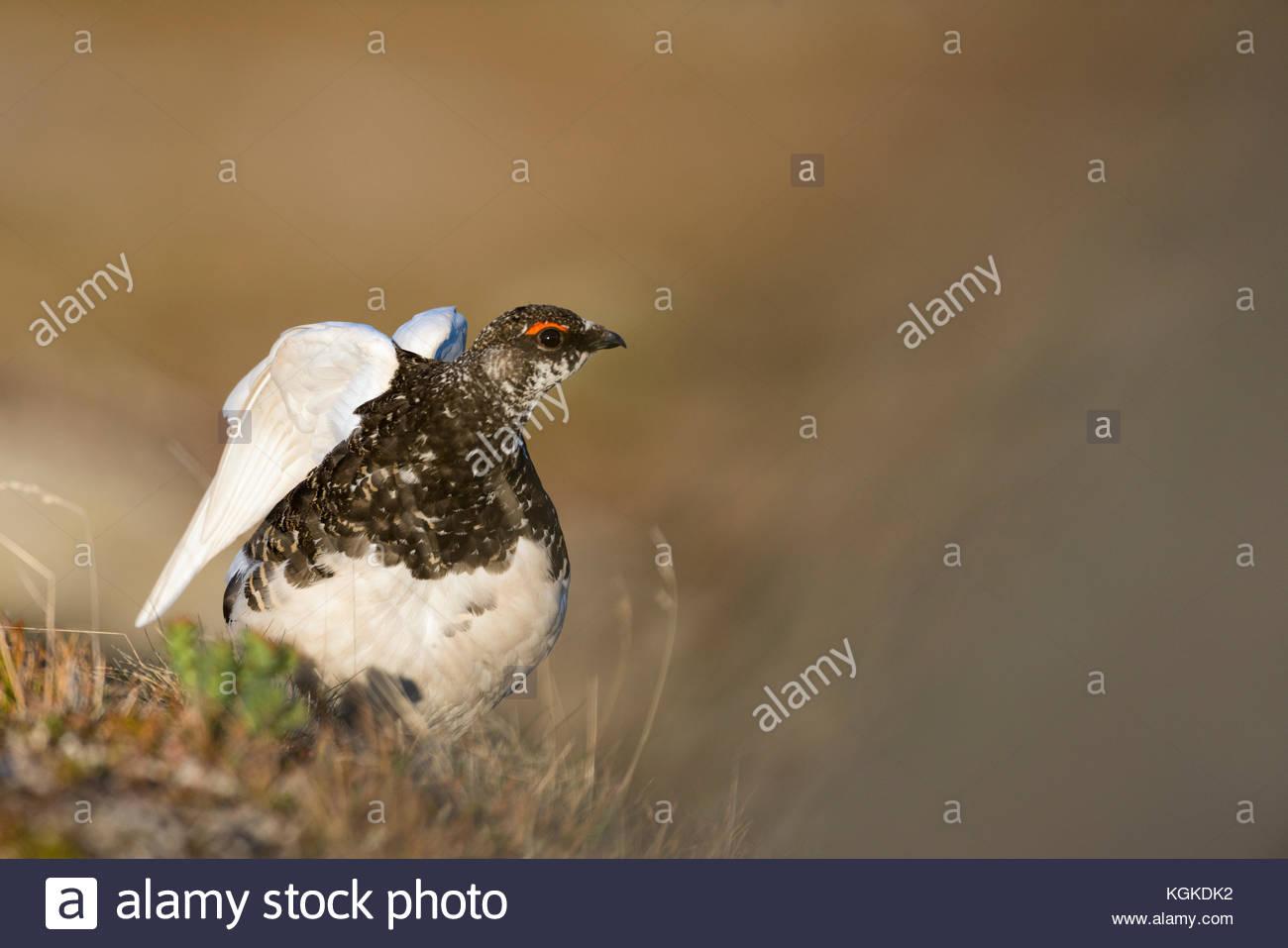 Rock Ptarmigan, Lagoupus muta, stretching it's wings. - Stock Image