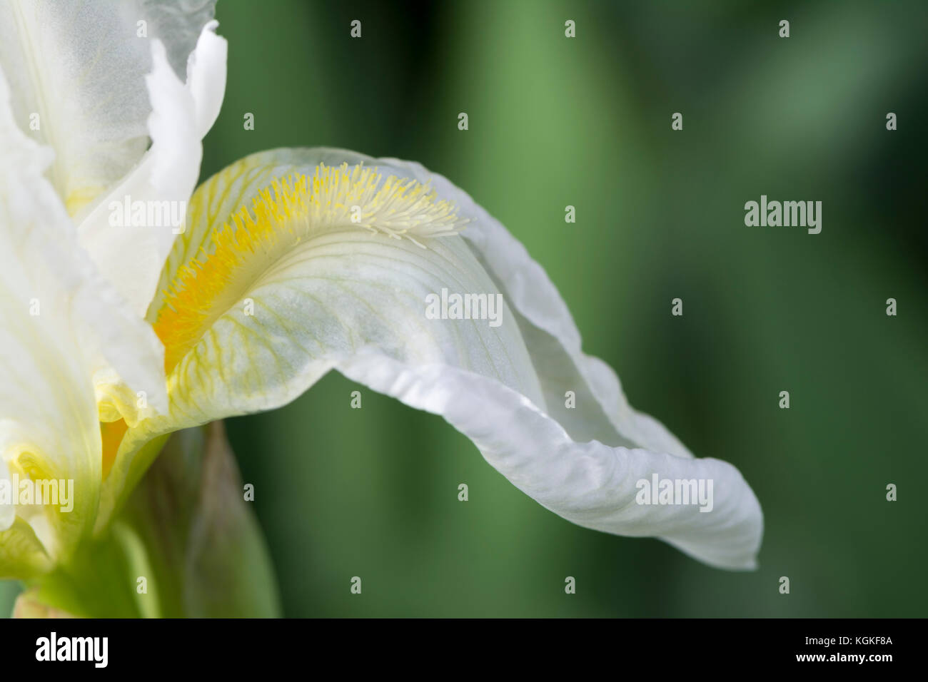 Partial view and main focus on the yellow beard and petal of a bearded white iris, possibly a Frequent Flyer Iris. - Stock Image