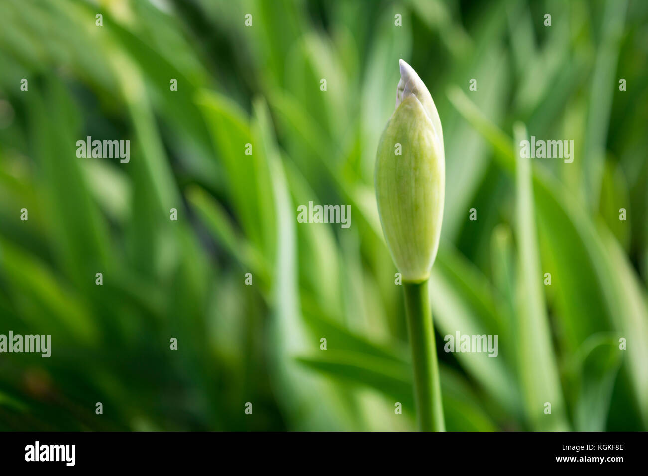 A white iris bud, when it emerges it with be white with a yellow beard, possibly a Frequent Flyer Iris. - Stock Image