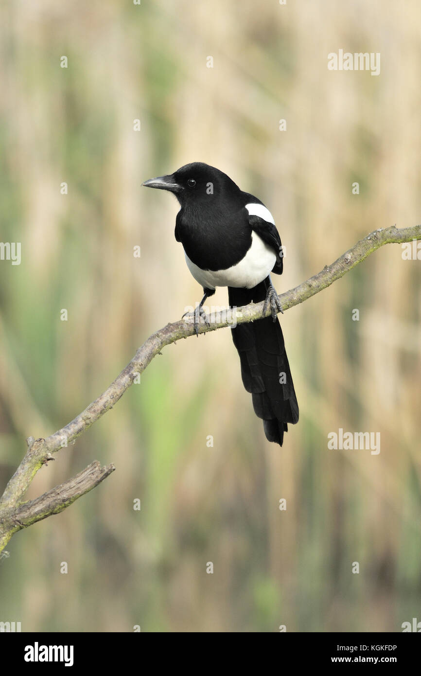 An eurasian magpie or common magpie (Pica pica) perched on a branch in a reed bed in Warwickshire in the UK Stock Photo