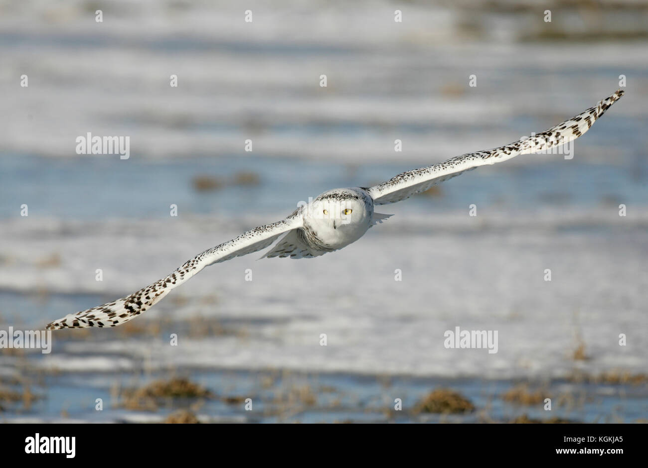 A closeup wildlife action portrayal of a snowy owl flying with wings outspread, hunting for prey against a backdrop - Stock Image