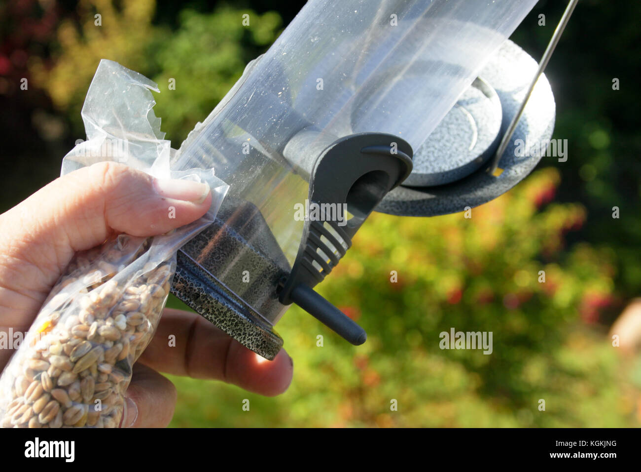 hanging up and filling a new clean bird feeder in an English garden at the beginning of autumn. - Stock Image