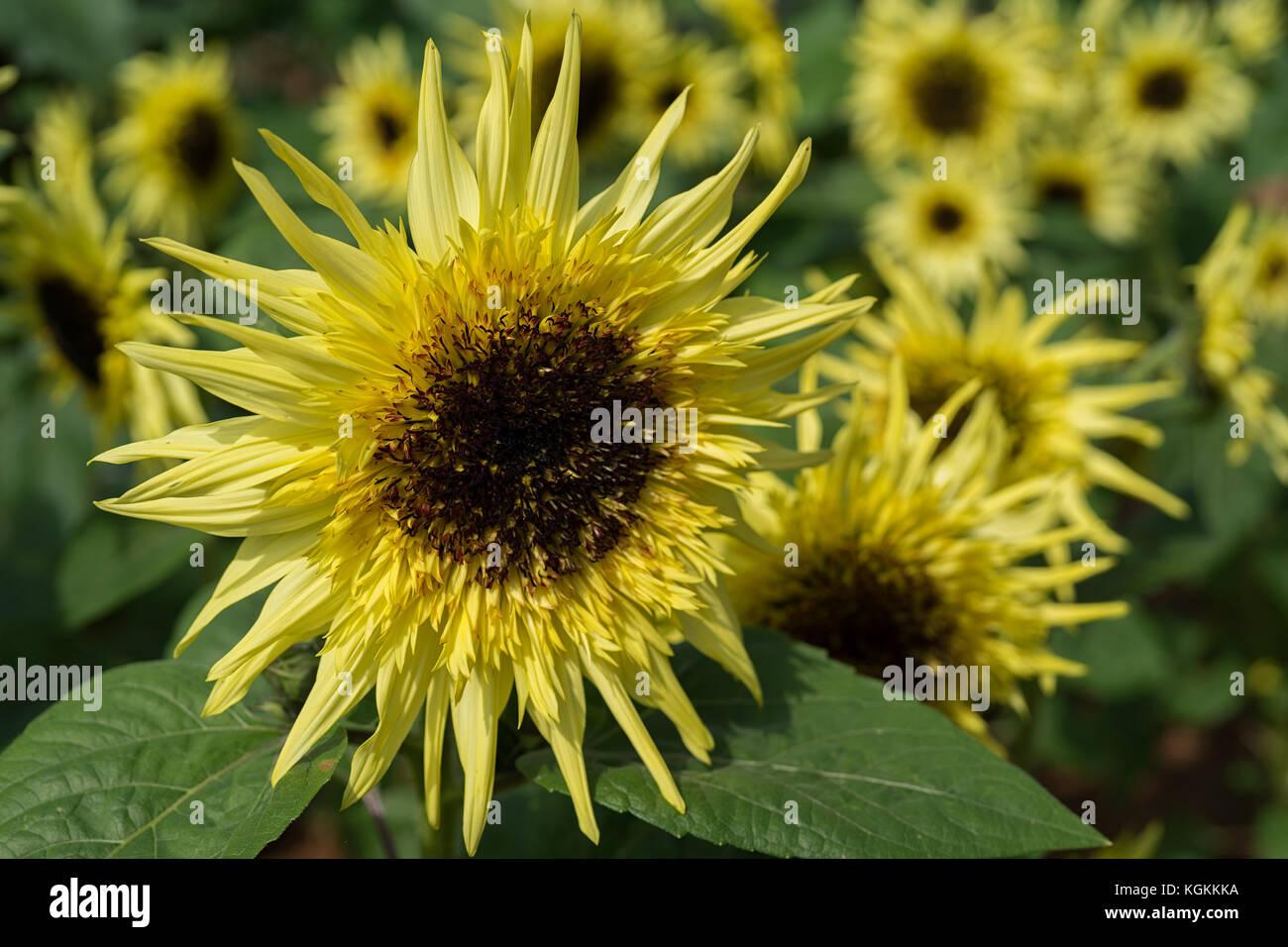 Sunflower var. Starburst Lemon Éclair growing in the summer garden - Stock Image