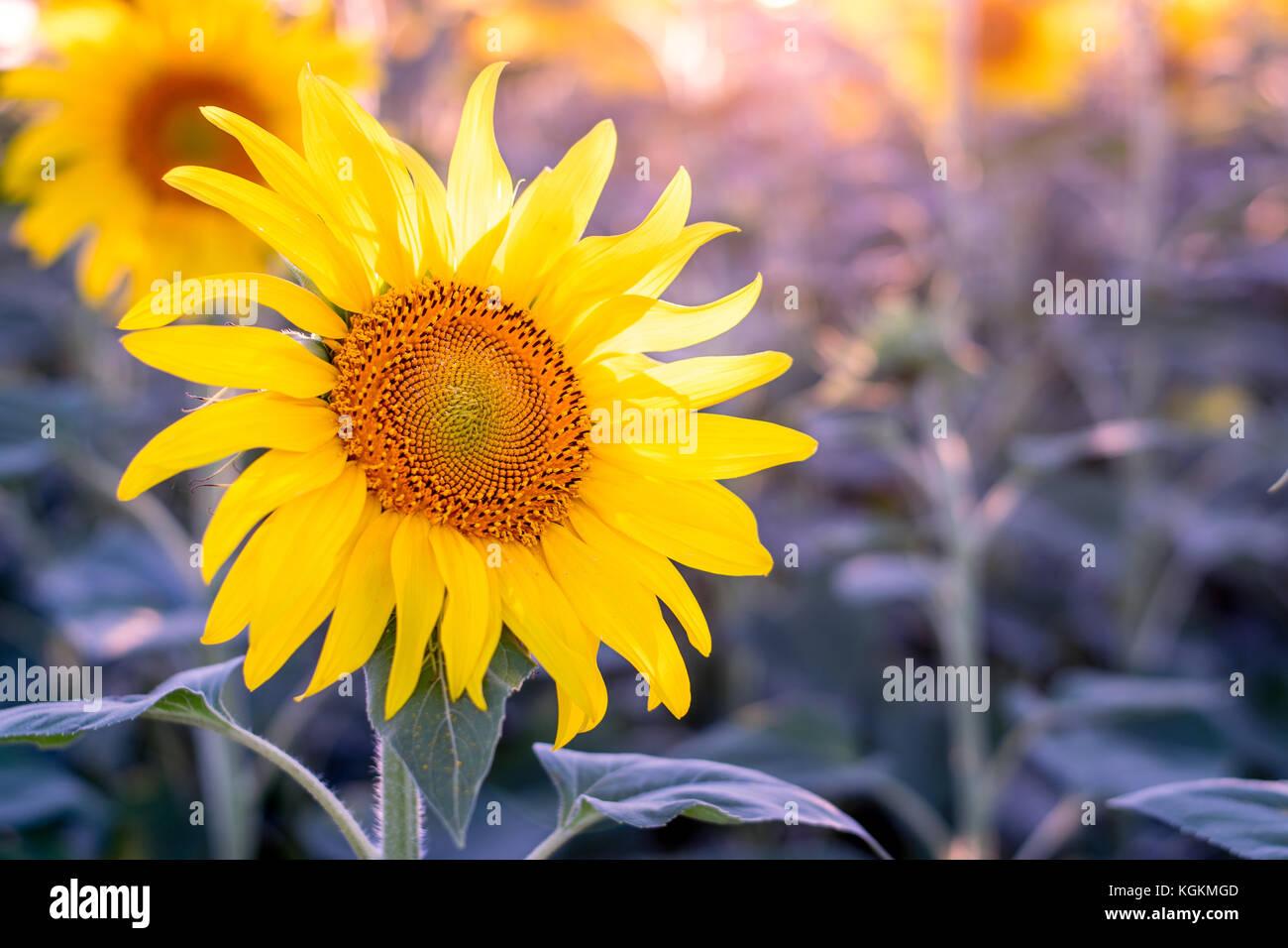 Sunflower field in Moldova - Stock Image