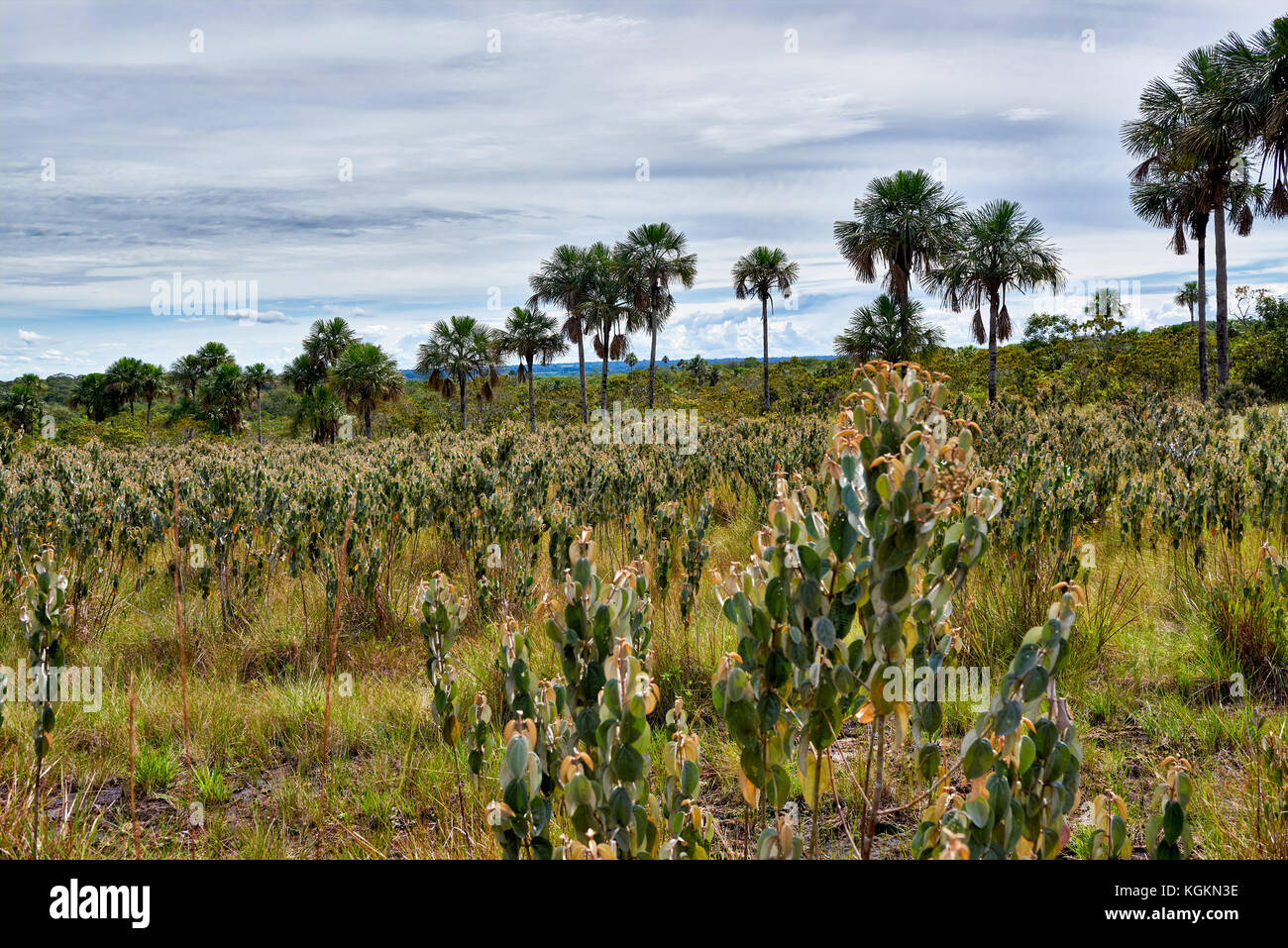 typical landscape with palm trees and plants in National Park Serrania de la Macarena, La Macarena, Colombia, South - Stock Image