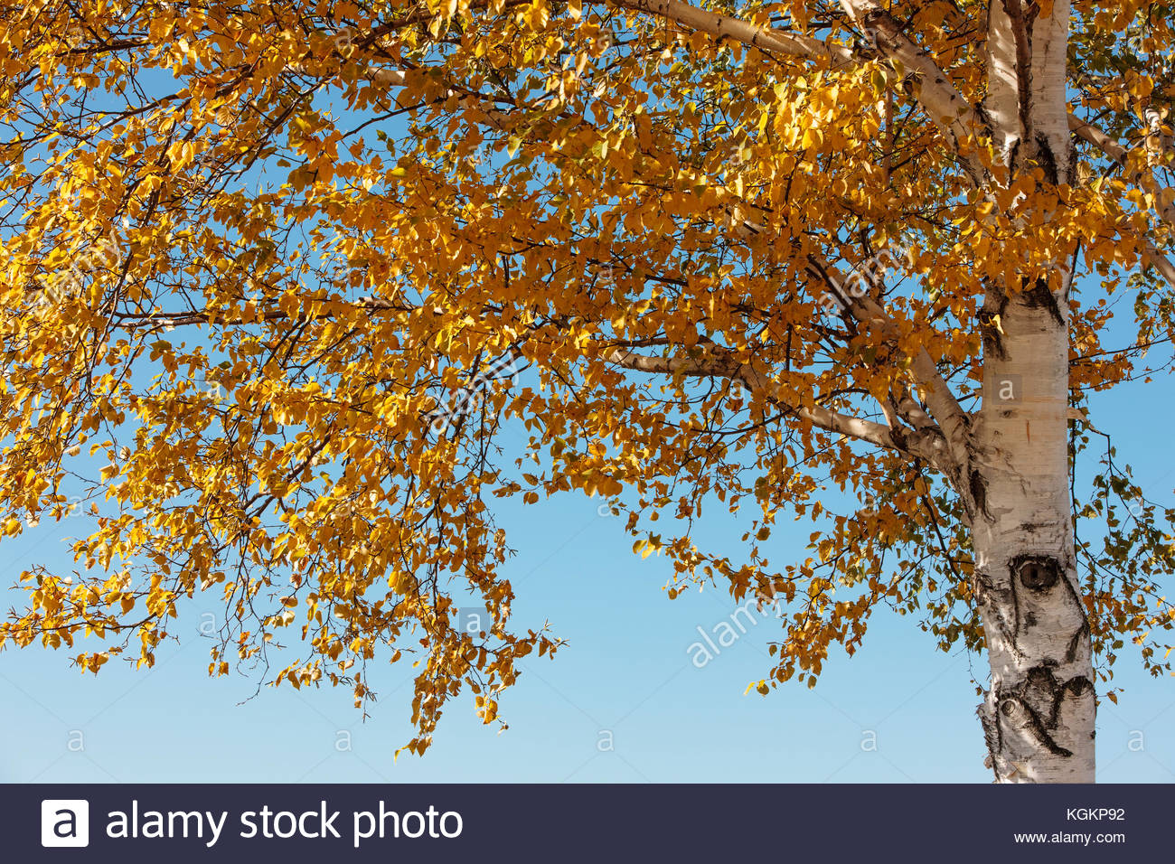 Birch trees, with the leaves changing colors in late October, contrast with the autumn morning sky within the Horicon - Stock Image
