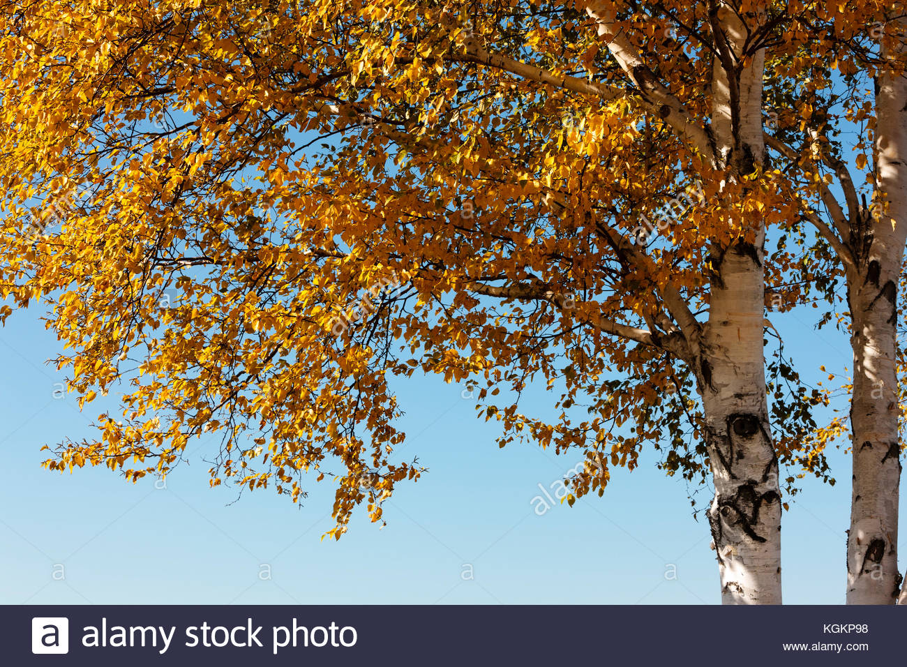 Birch trees, with the leaves changing colors in late October, contrast with the autumn morning sky in the Horicon - Stock Image