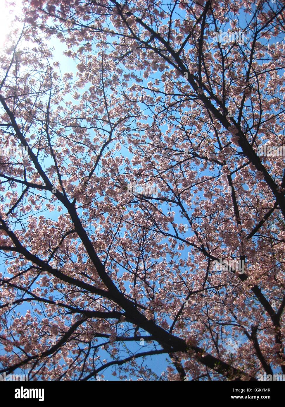 Cherry blossom tree with blue sky in the background stock photo cherry blossom tree with blue sky in the background izmirmasajfo