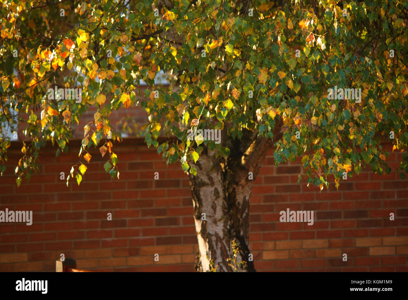 Autumn birch leaves in the city - Stock Image