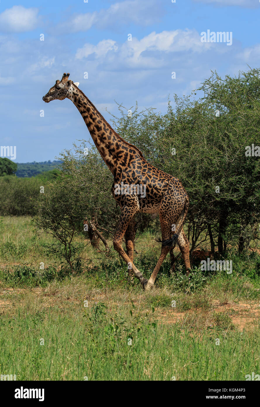 A male Masai Giraffe towering above the bushes - Stock Image