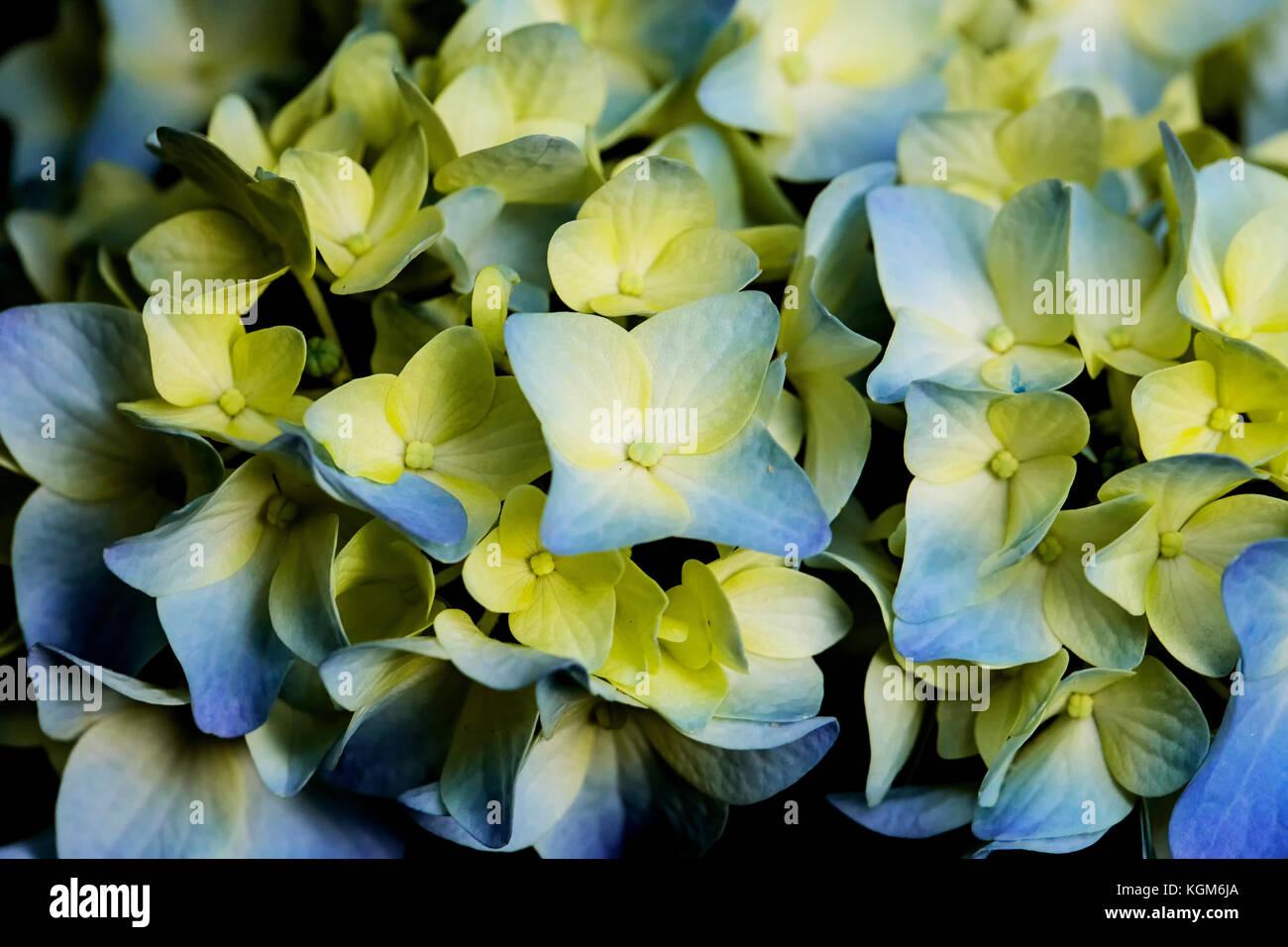 Closeup of blue and yellow hydrangea bush flowers stock photo closeup of blue and yellow hydrangea bush flowers mightylinksfo