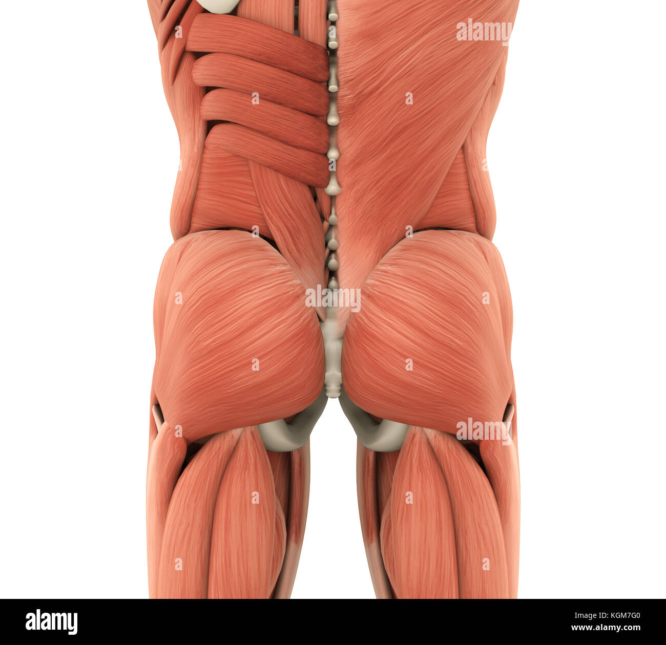 Thigh Adductor Muscles Stock Photos Thigh Adductor Muscles Stock