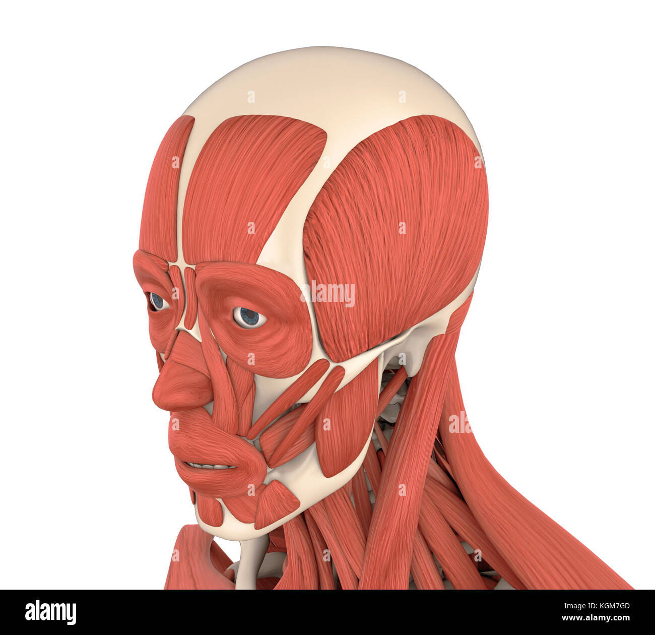 Human Facial Muscles Anatomy Stock Photo: 165172797 - Alamy