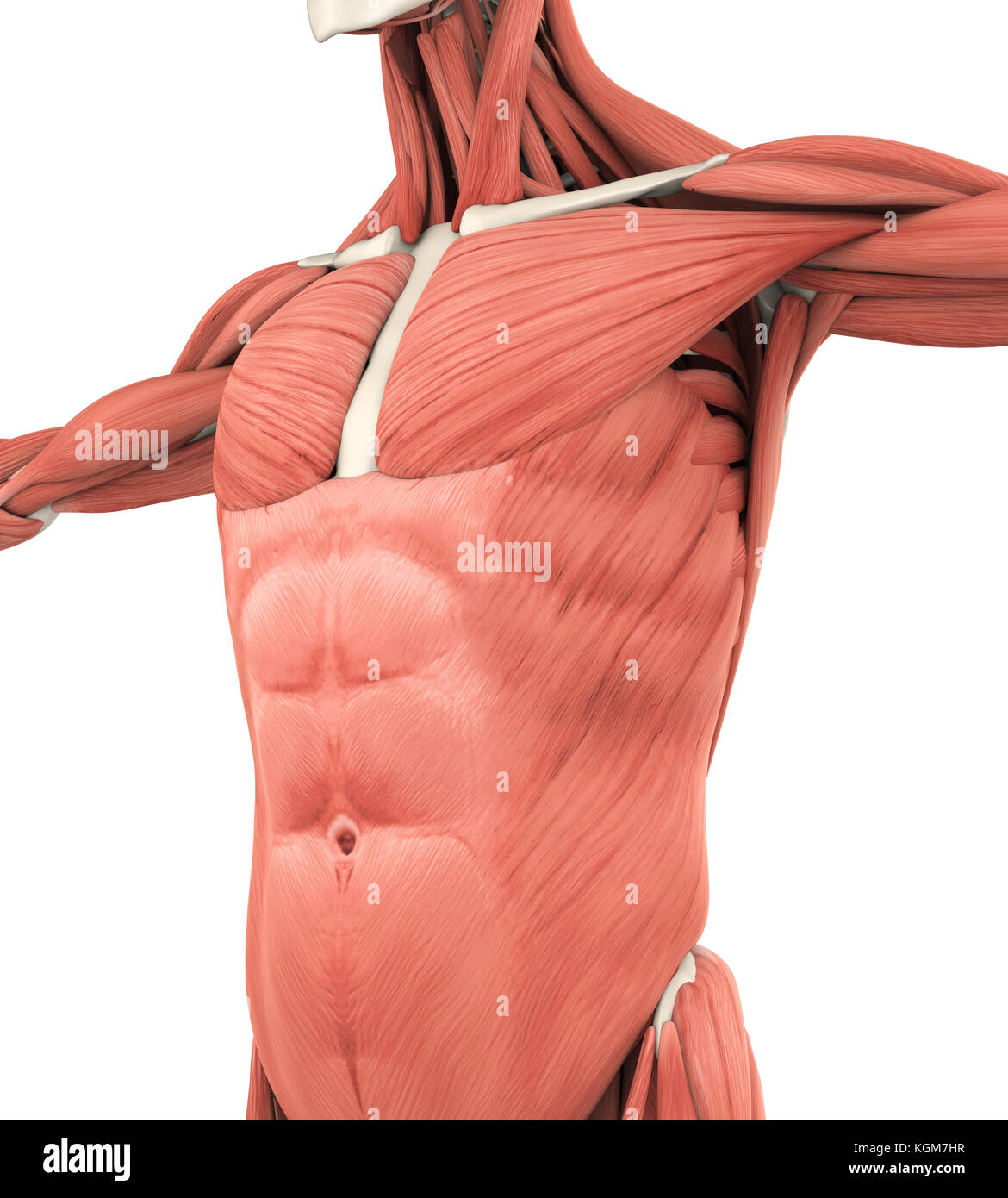Upper Body Anatomy Stock Photos & Upper Body Anatomy Stock Images ...