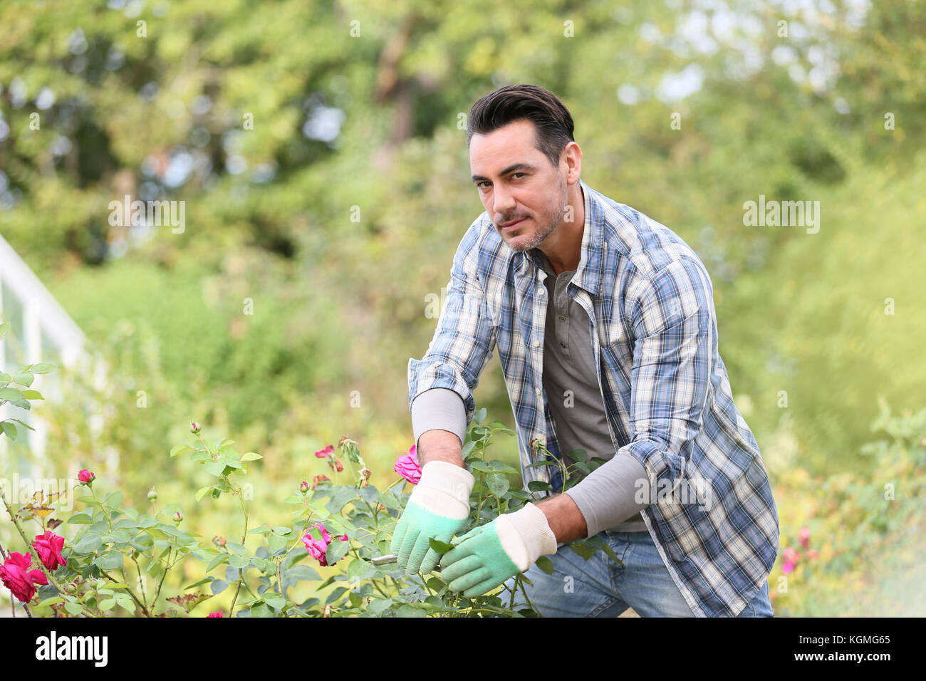 Man in botanic garden cutting roses - Stock Image