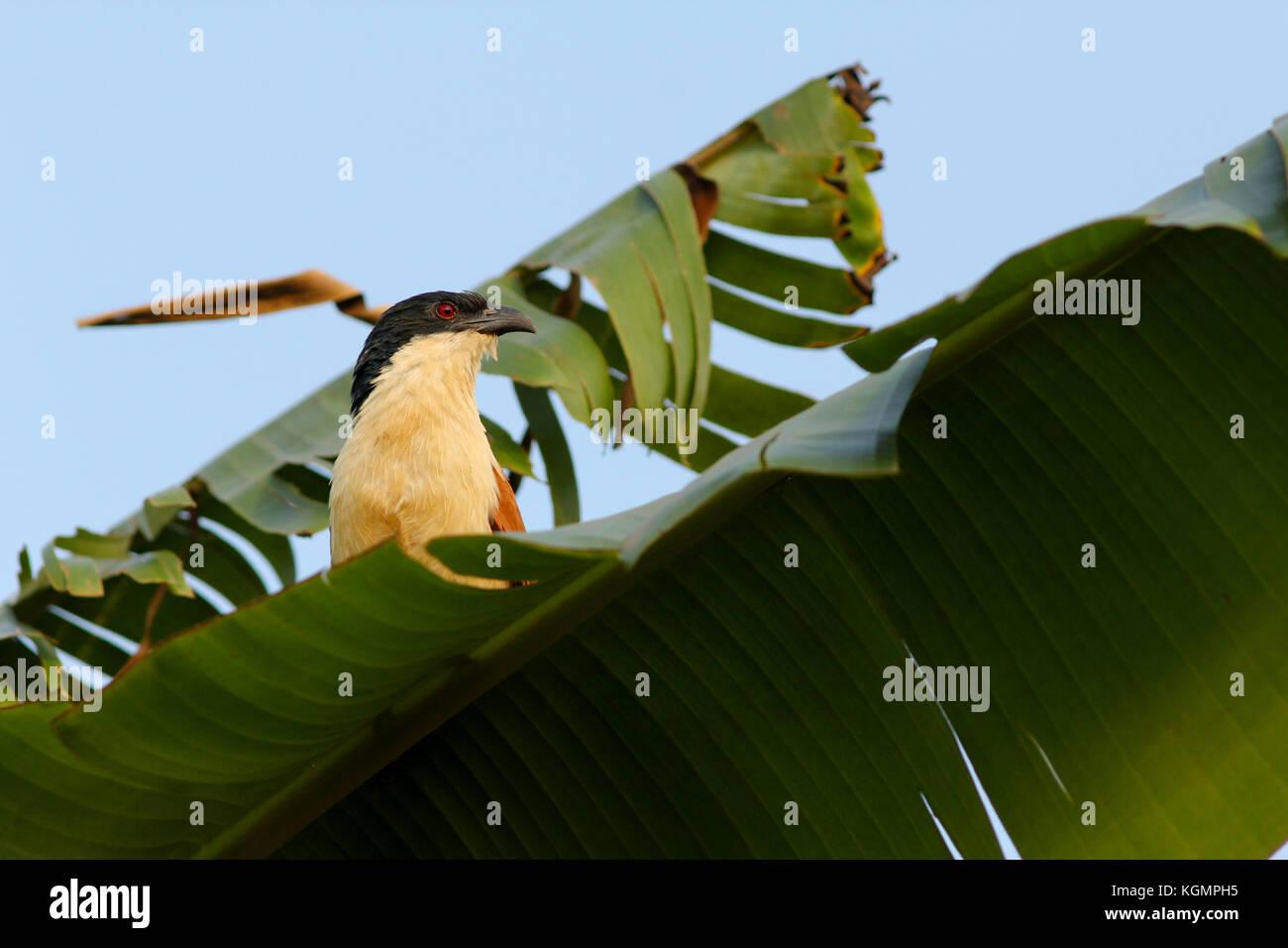 Senegal coucal (Centropus senegalensis). Southern Ethiopia. - Stock Image