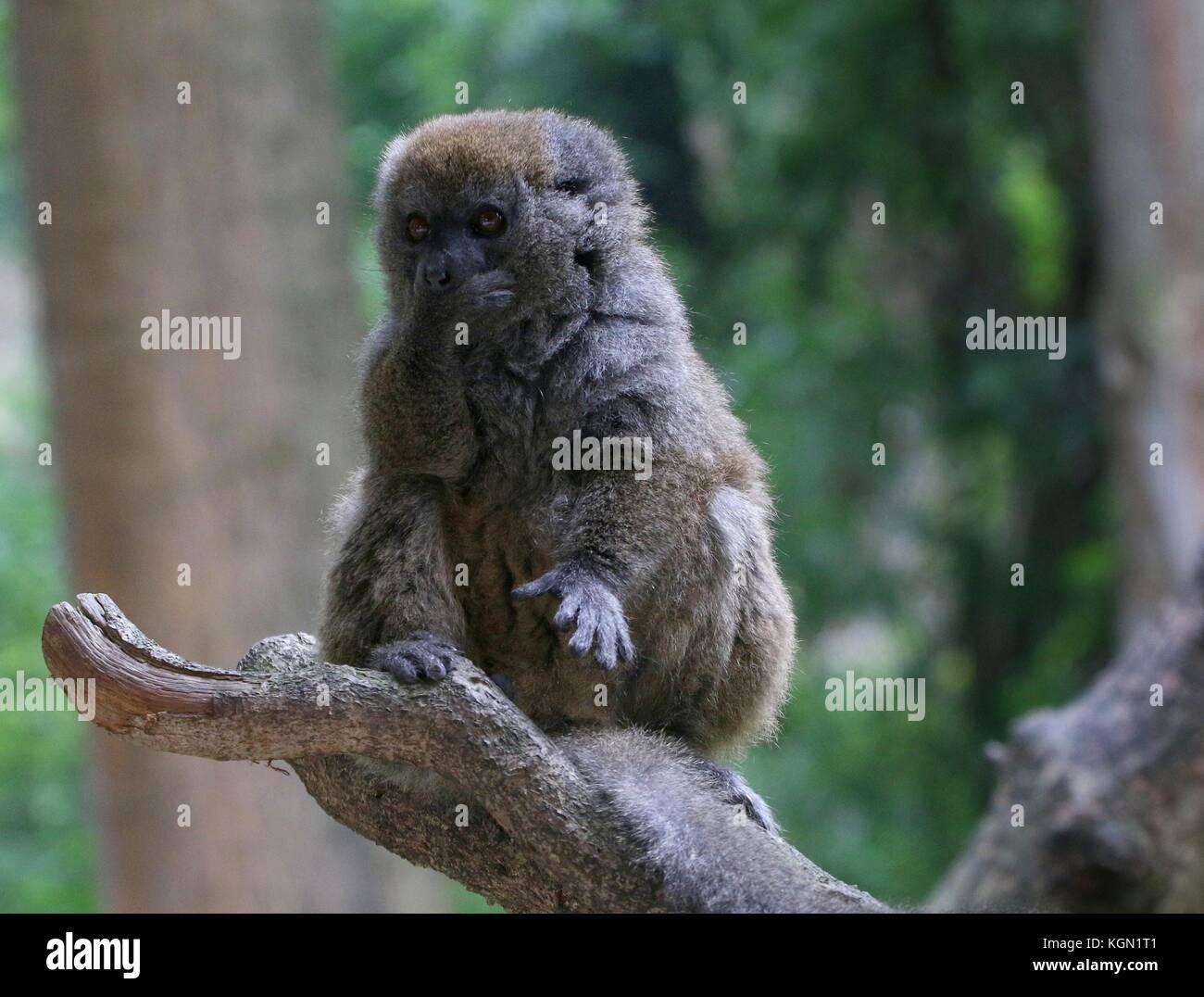 Madagascar Lac Alaotra bamboo lemur (Hapalemur alaotrensis), a.k.a. Alaotran gentle lemur - Stock Image