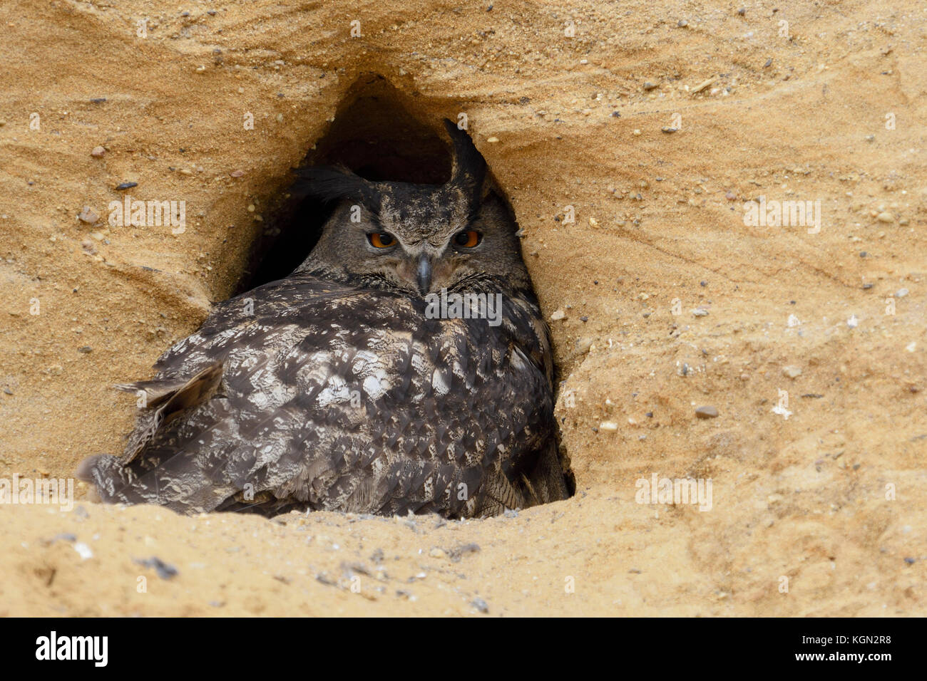 Eurasian Eagle Owl / Europaeischer Uhu ( Bubo bubo ), adult, resting in the entrance of its nesting site in a sand - Stock Image