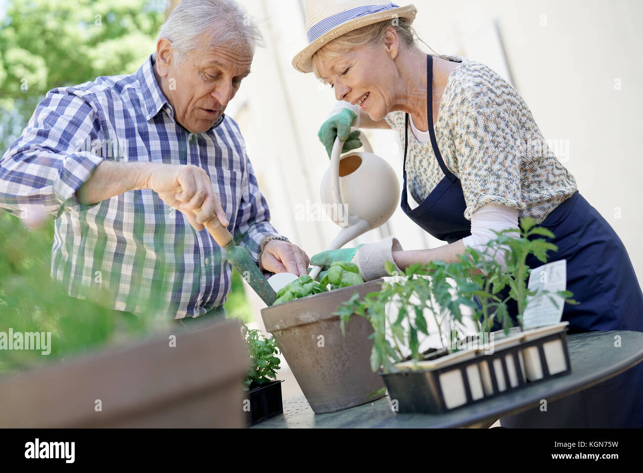 Senior couple planting aromatic herbs in pot - Stock Image