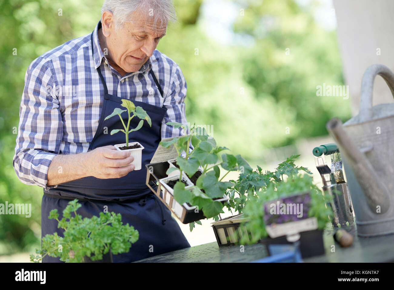 Senior man in garden looking at young plants - Stock Image