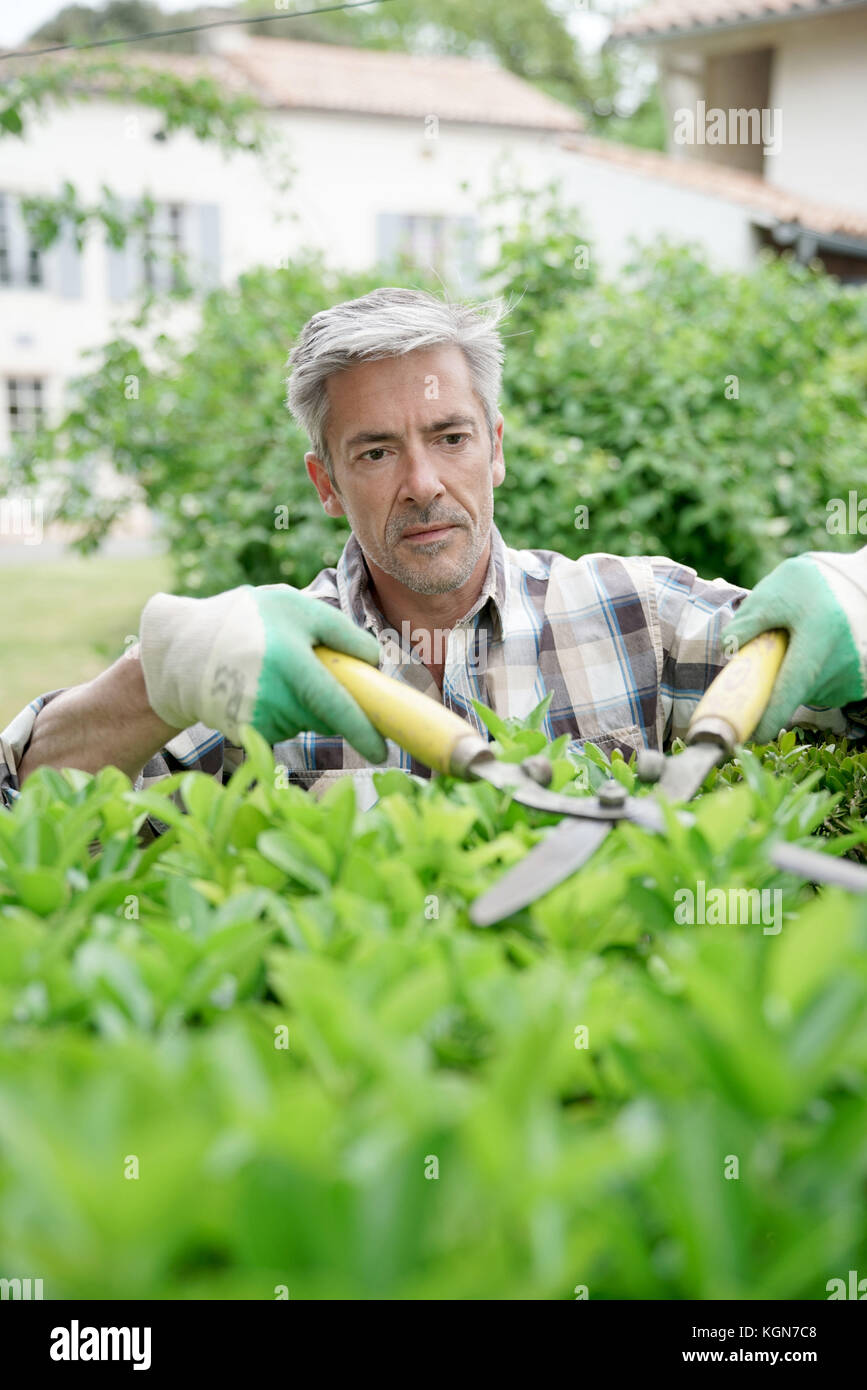 Mature man in garden trimming hedges - Stock Image