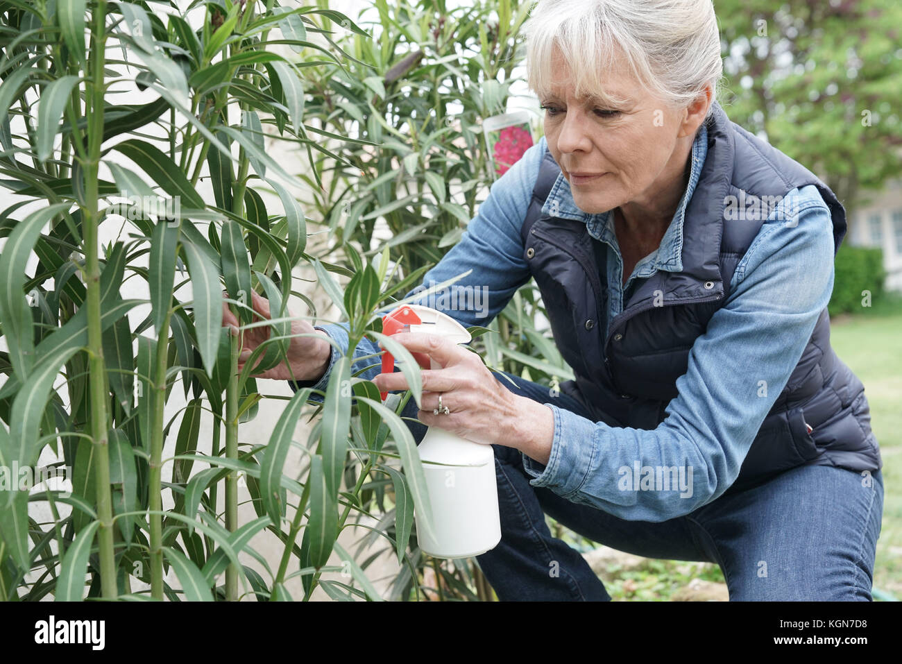 Senior woman in garden spraying insecticide over plants - Stock Image