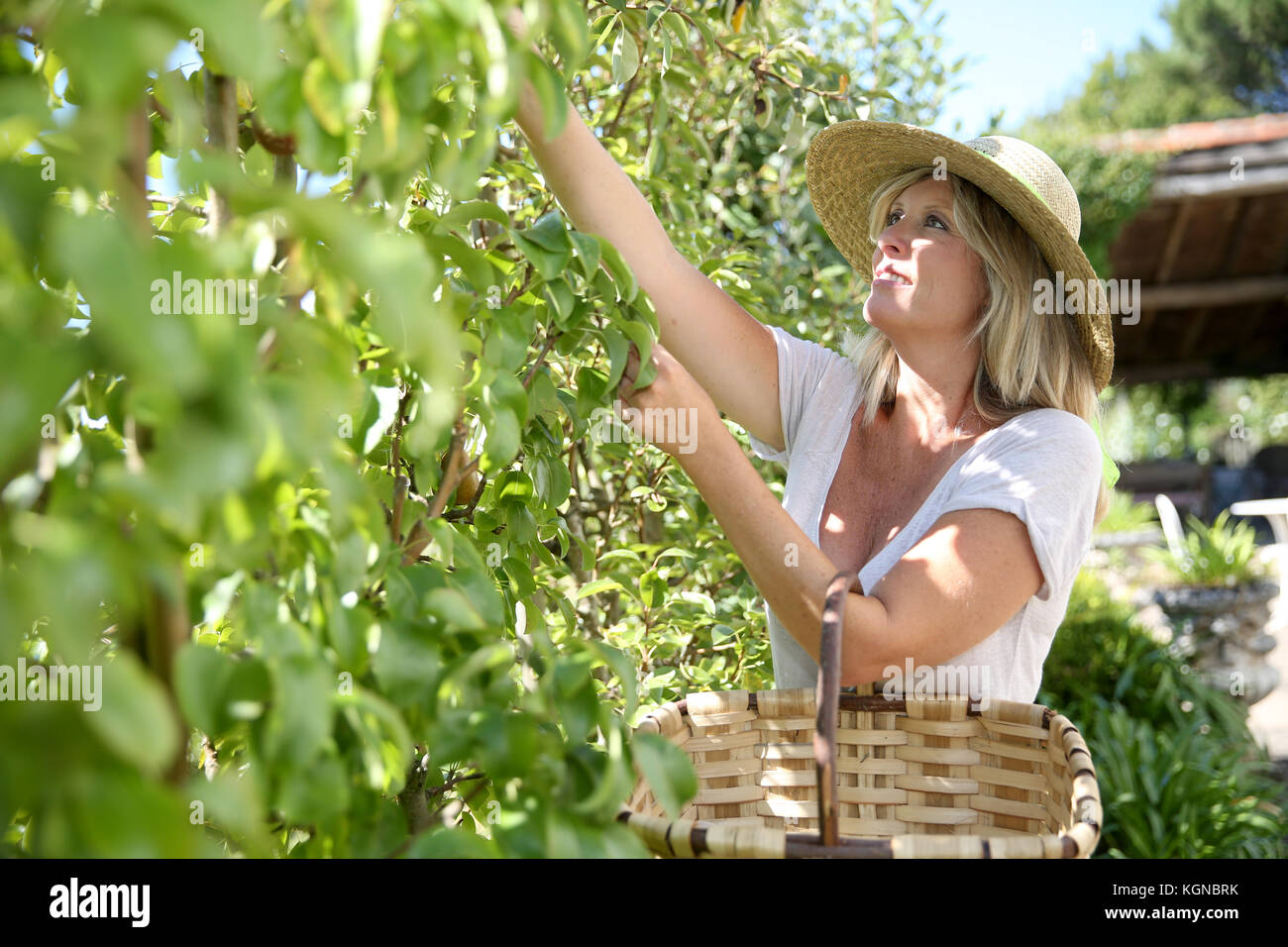 Smiling blond woman picking fruits from tree - Stock Image