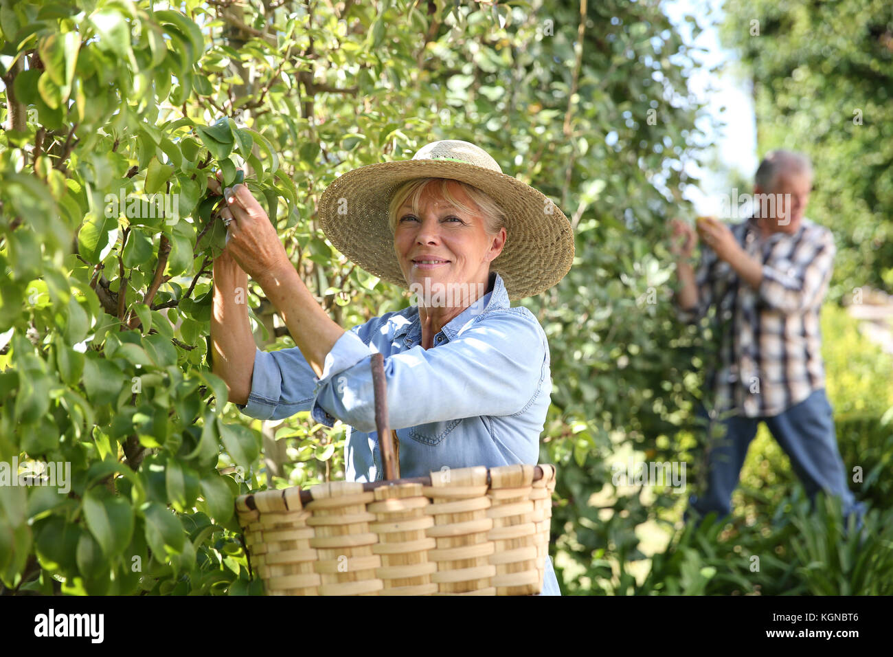 Senior woman picking pears from tree Stock Photo