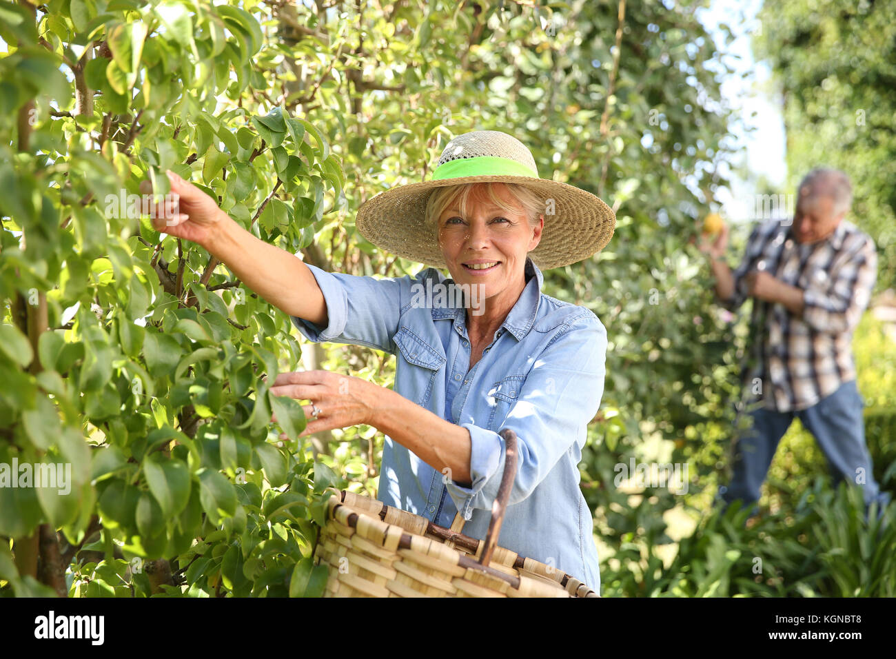 Senior woman picking pears from tree - Stock Image