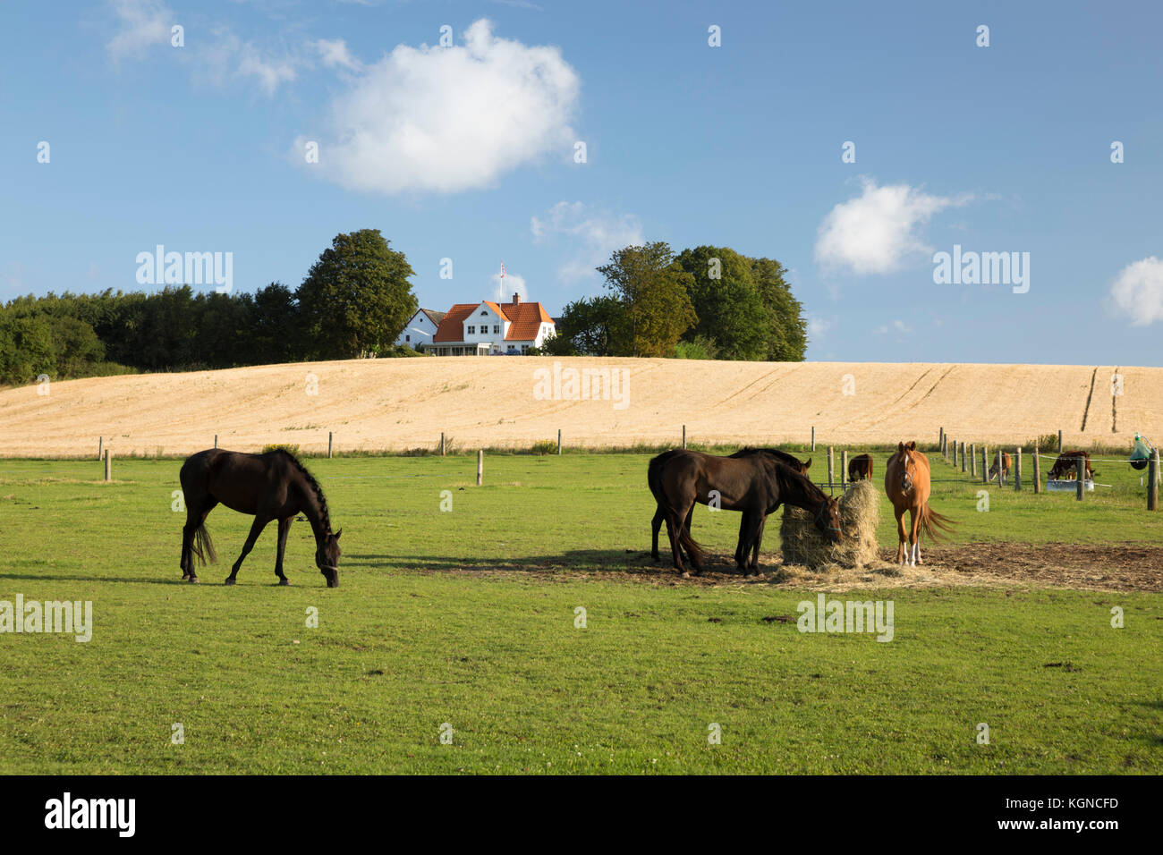 Danish farmhouse with wheat field and grazing horses in foreground, Munkerup, Zealand, Denmark, Europe - Stock Image