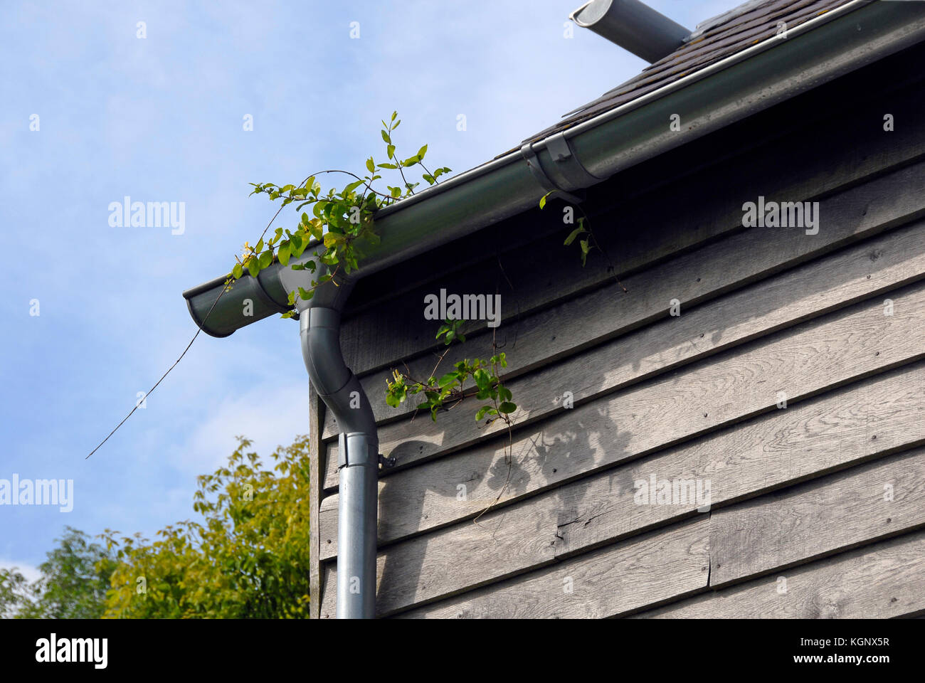 Plant growing in plastic gutter of wooden building - Stock Image