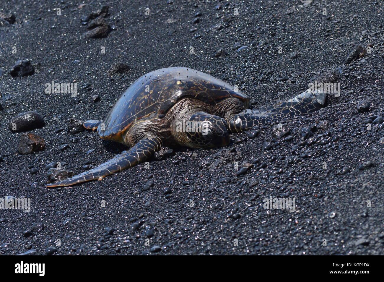 Turtles On A Black Sand Beach In Hawaii Stock Photo