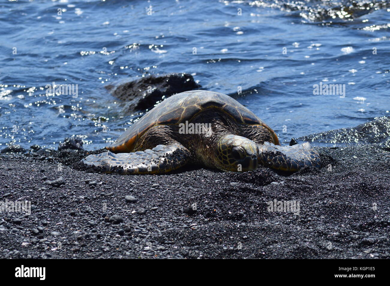 Turtles On A Black Sand Beach In Hawaii Stock Photo