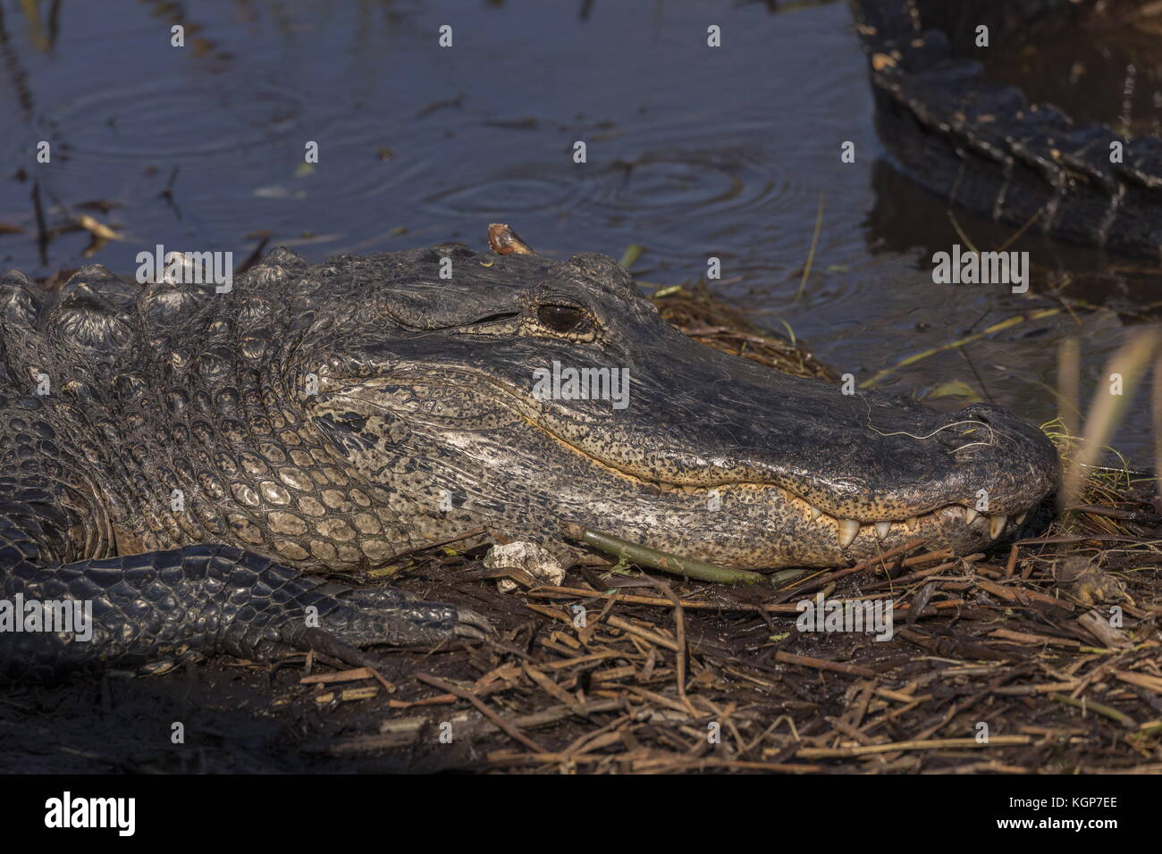 American alligator, Alligator mississippiensis, basking in the sun, Everglades, Florida. - Stock Image
