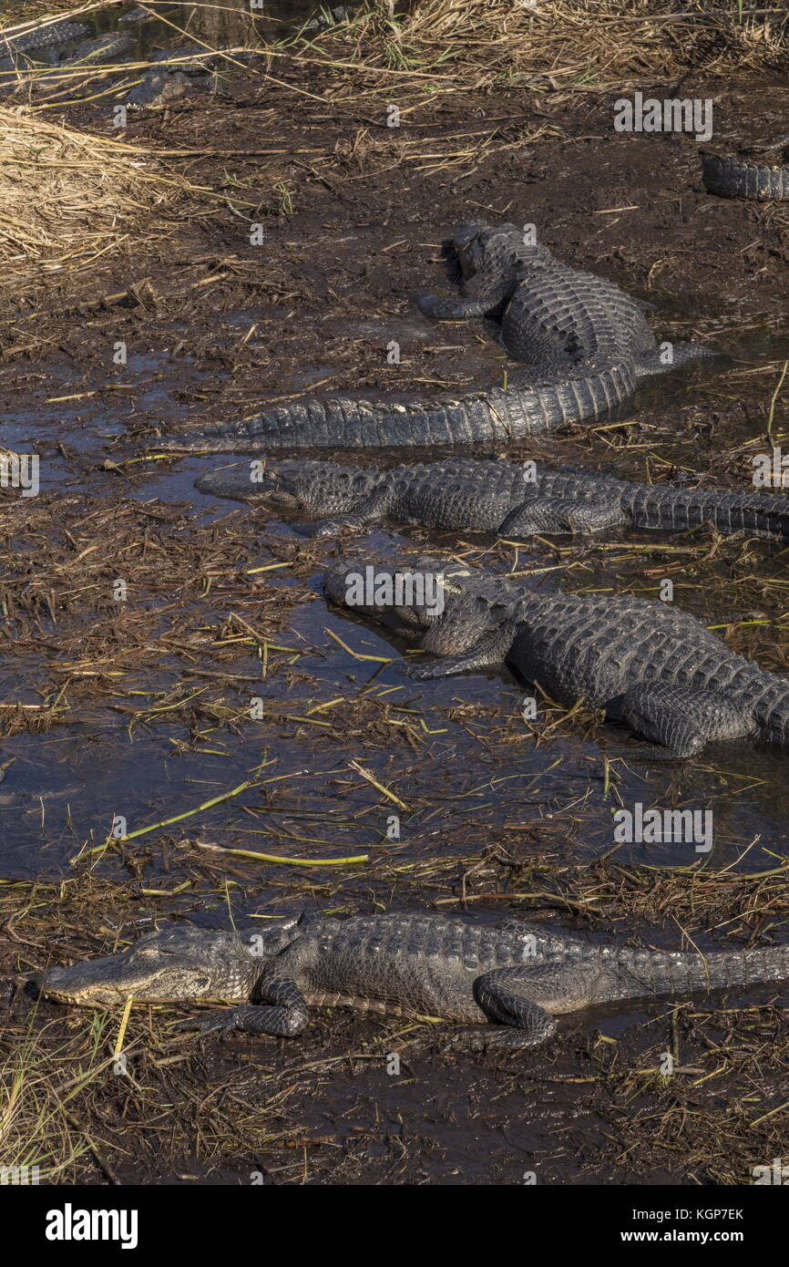 Group of American alligators, Alligator mississippiensis, in Alligator hole, Everglades, Florida. - Stock Image