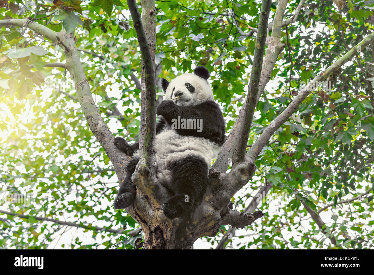 Giant Panda sits on the tree brunch and eats bamboo. - Stock Image