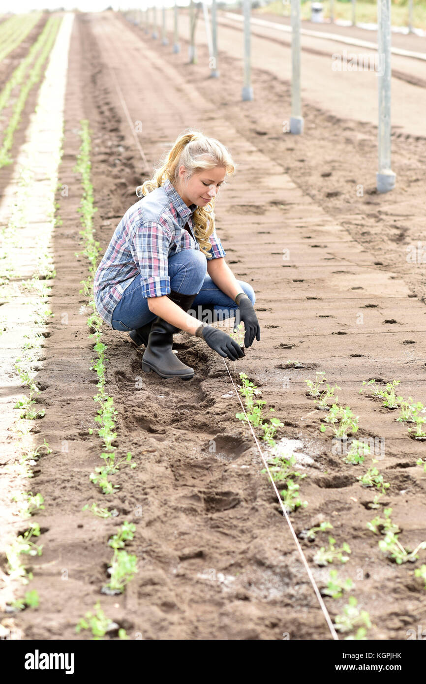 Young woman planting organic lettuce in greenhouse - Stock Image