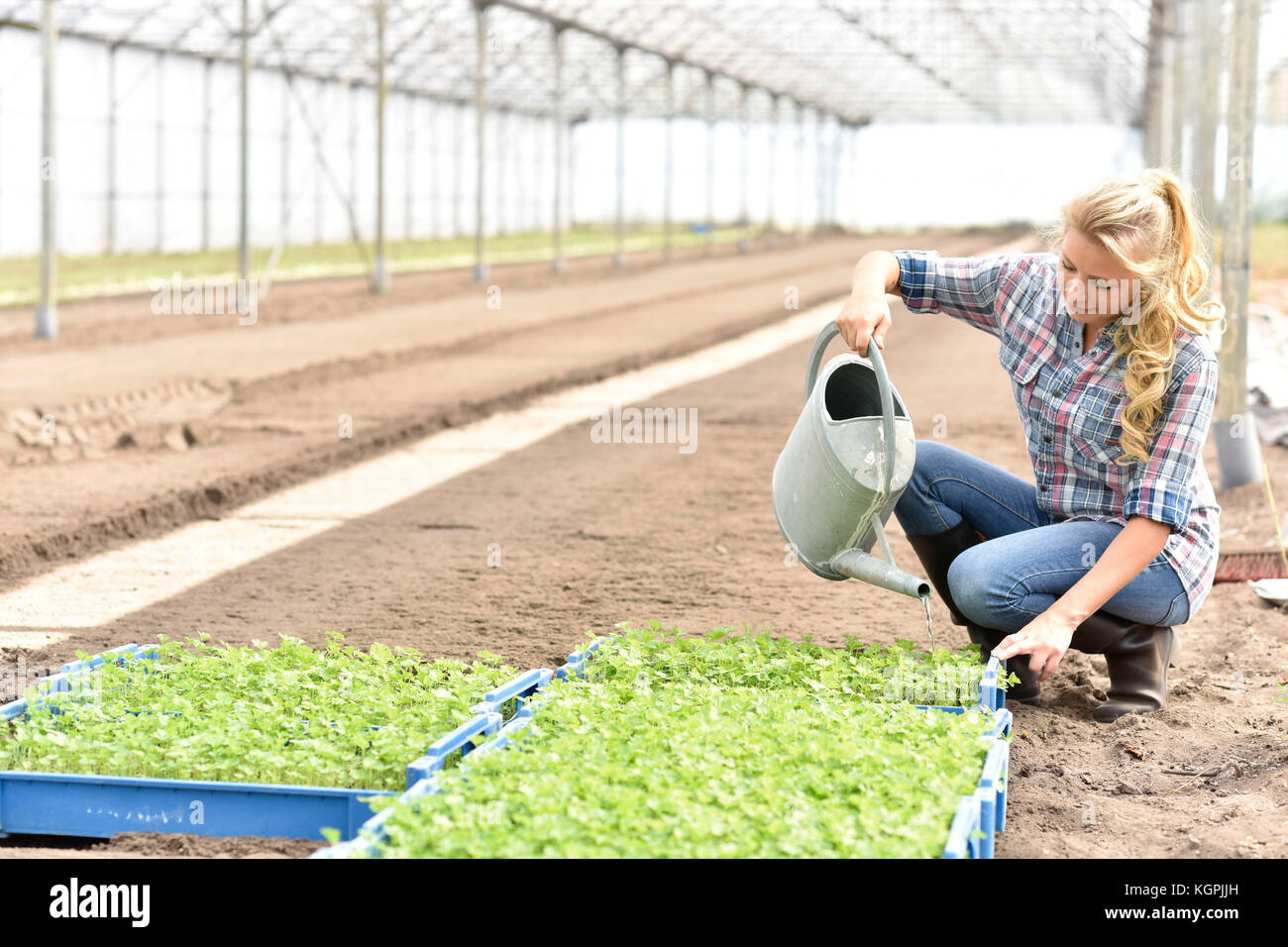 Young woman watering organic lettuce in greenhouse - Stock Image