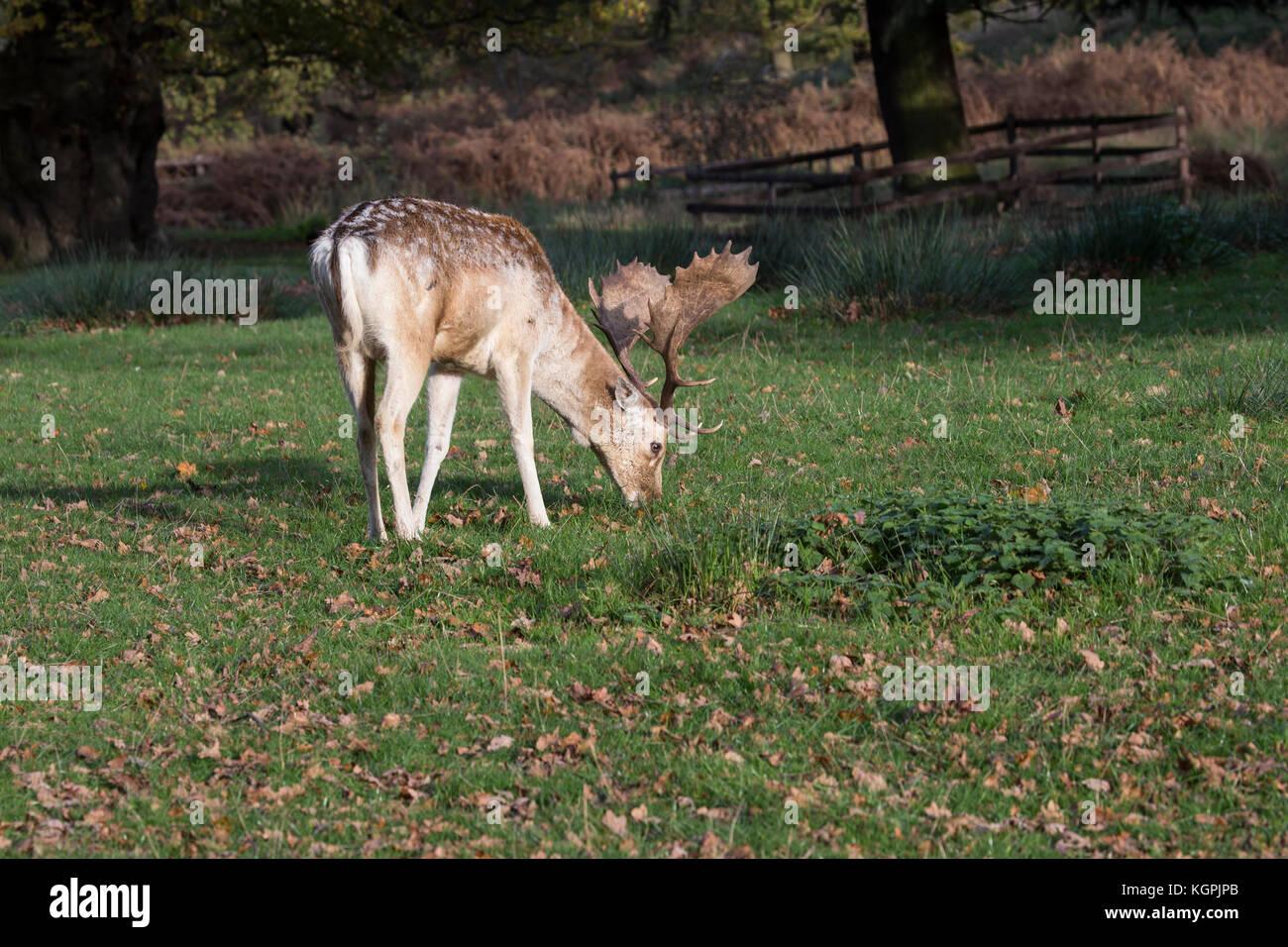 Mature fallow deer buck Dama dama grazing in woodland park - Stock Image