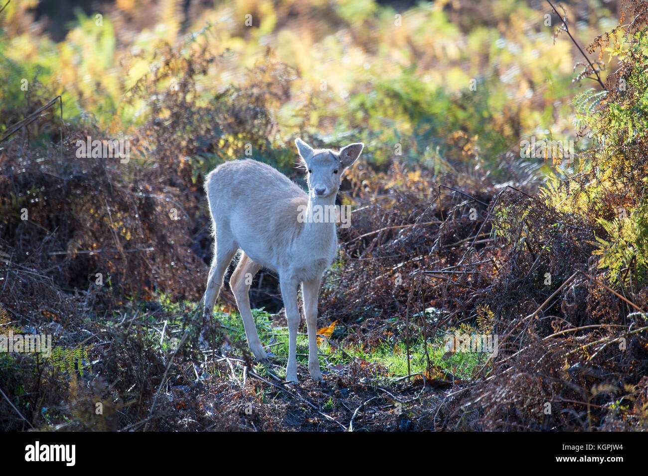 Fallow deer fawn Dama dama alone in thick fern and bracken - Stock Image