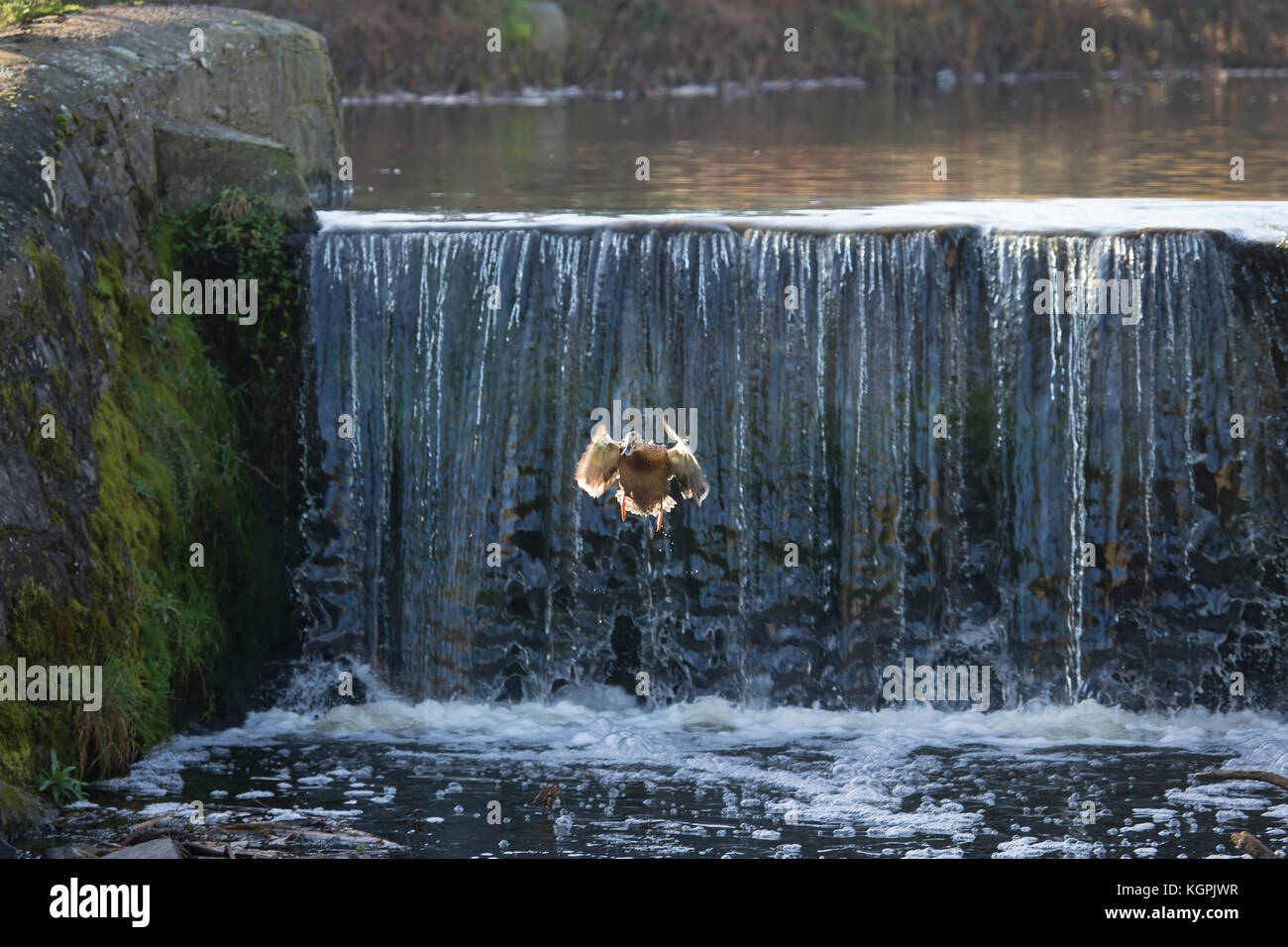 Female Mallard duck Anas Platyrhynchos plunging from the top of a waterfall into a river Stock Photo