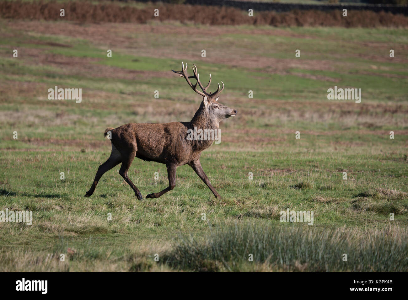 Red Deer stag with large antlers Cervus elaphus trotting across parkland in late autumn - Stock Image