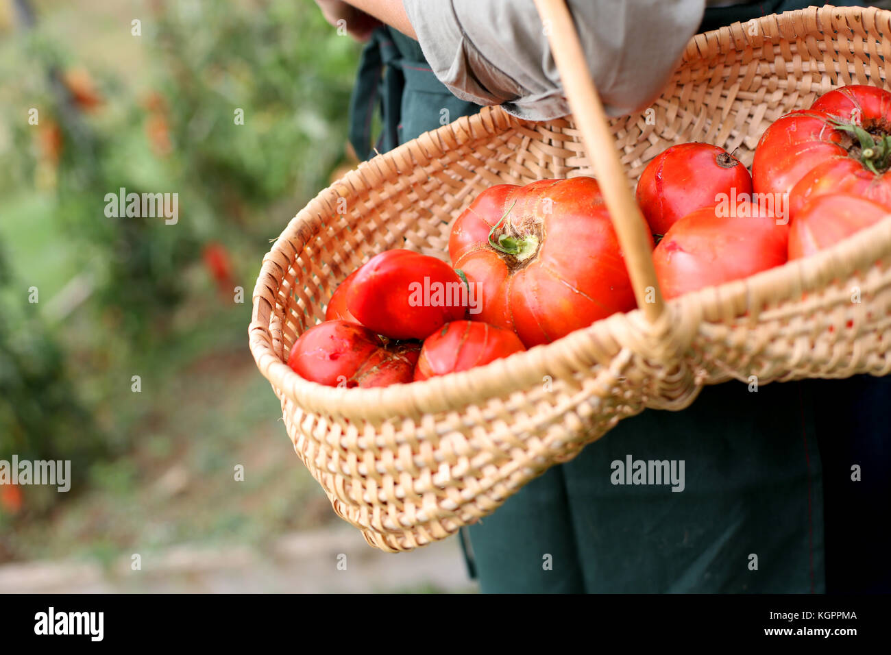 Closeup of fresh tomatoes in basket - Stock Image