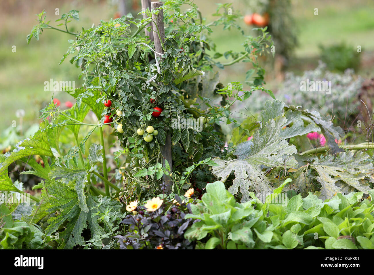 Closeup of tomatoes in kitchen garden - Stock Image