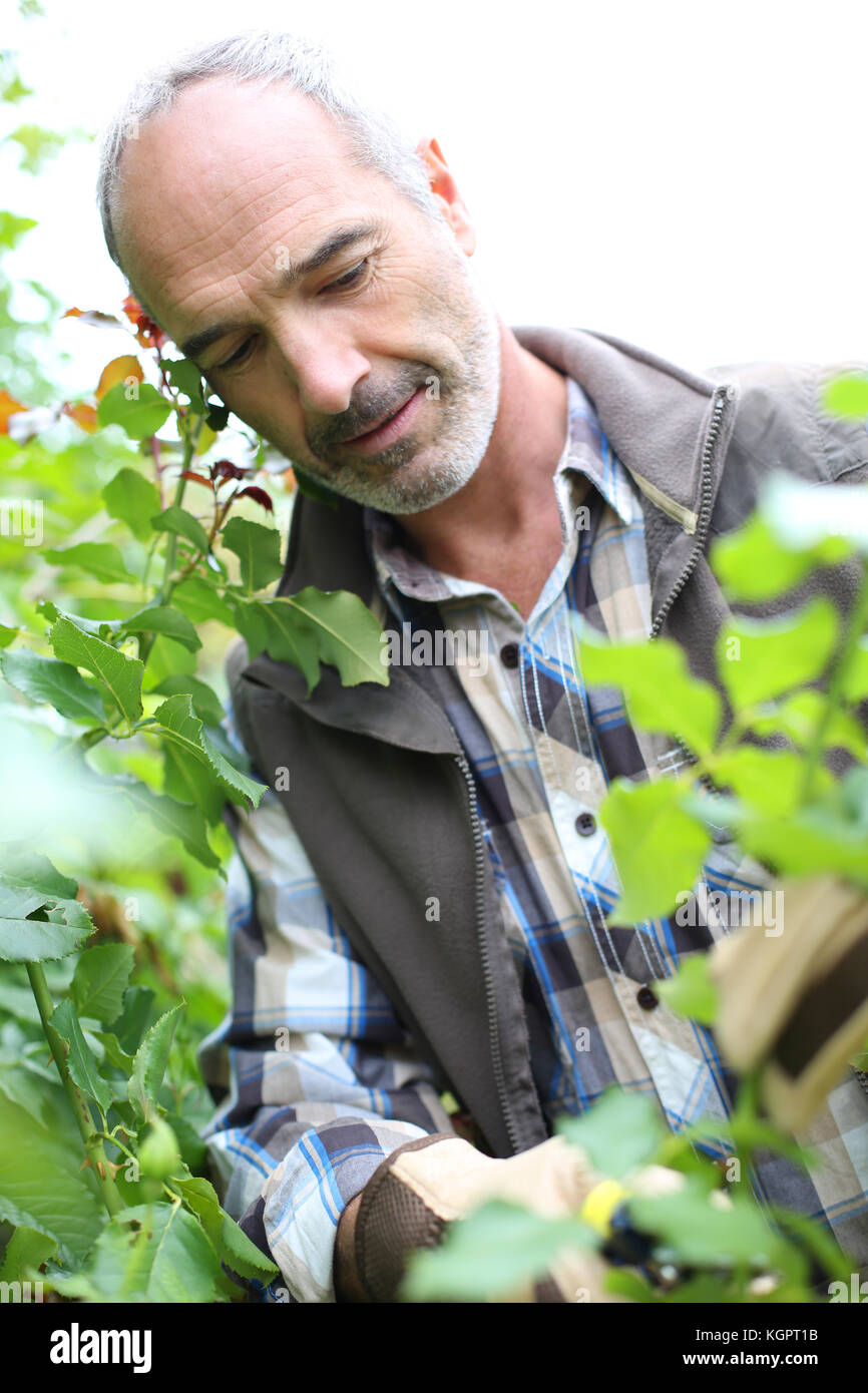 Senior man in garden cutting roses - Stock Image