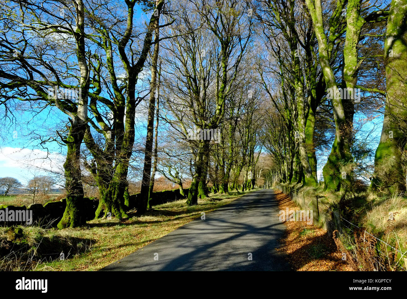 Avenue of beech trees, Dartmoor, Devon. UK - Stock Image
