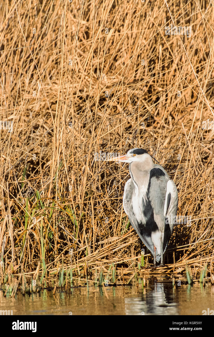Grey Heron, (Ardea cinerea), Regents Park, London, United Kingdom Stock Photo