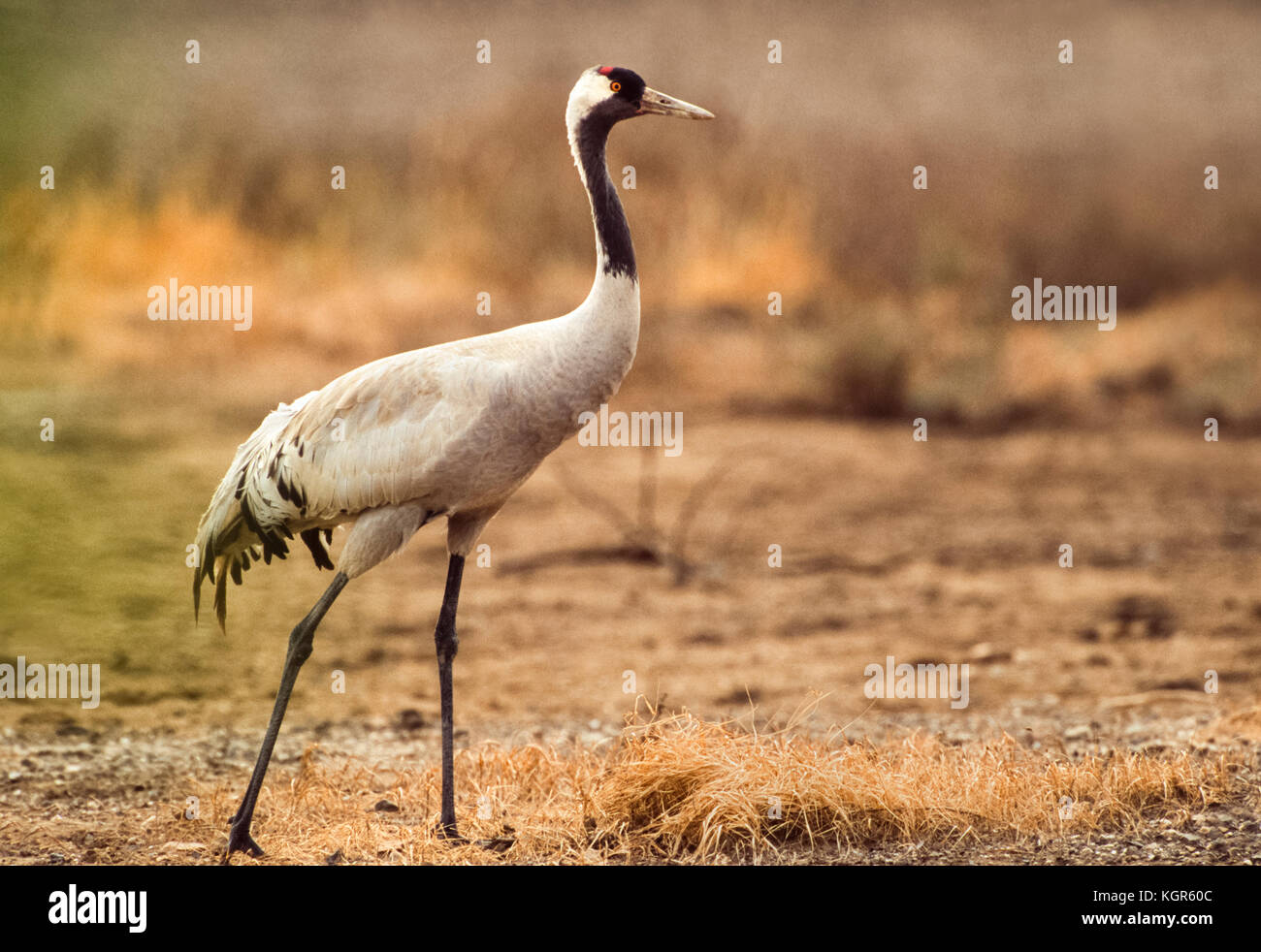 Common Crane, (Grus grus), Velavadar National Park, Gujarat, India - Stock Image