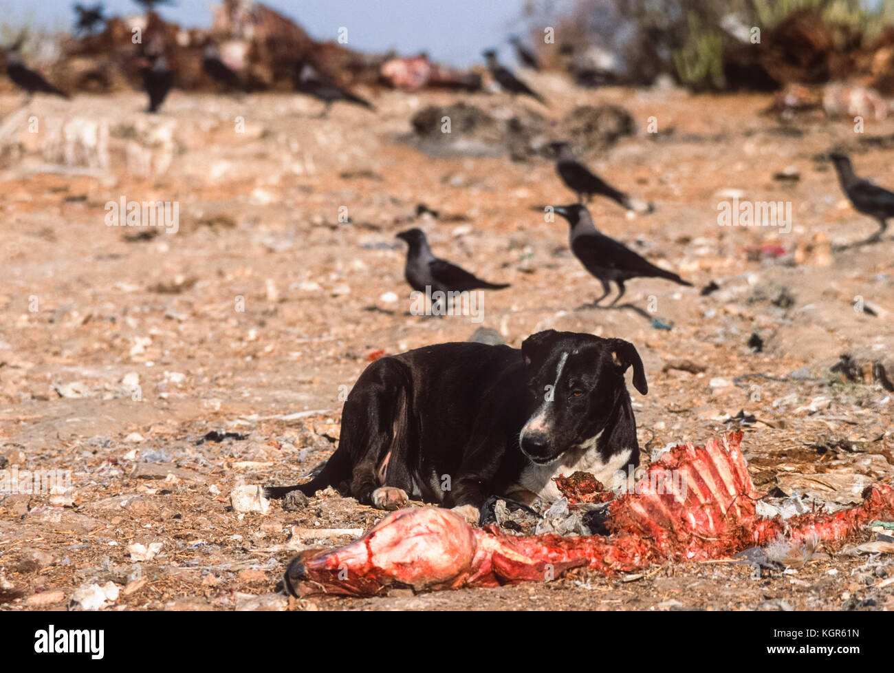 Feral dog, (Canis familiaris or Canis lupus familiaris), scavenging on carcass at animal dump, Rajasthan, India - Stock Image
